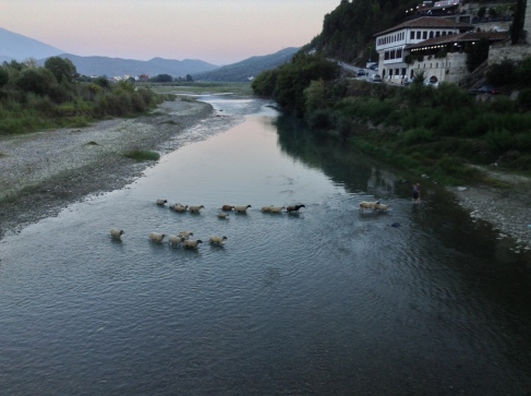Sheep and shepherd crossing the river in the middle of town